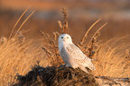 Snowy Owl, Jones Beach NY