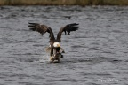 Bald Eagle grabs Duck from water