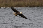 Bald Eagle with Duck