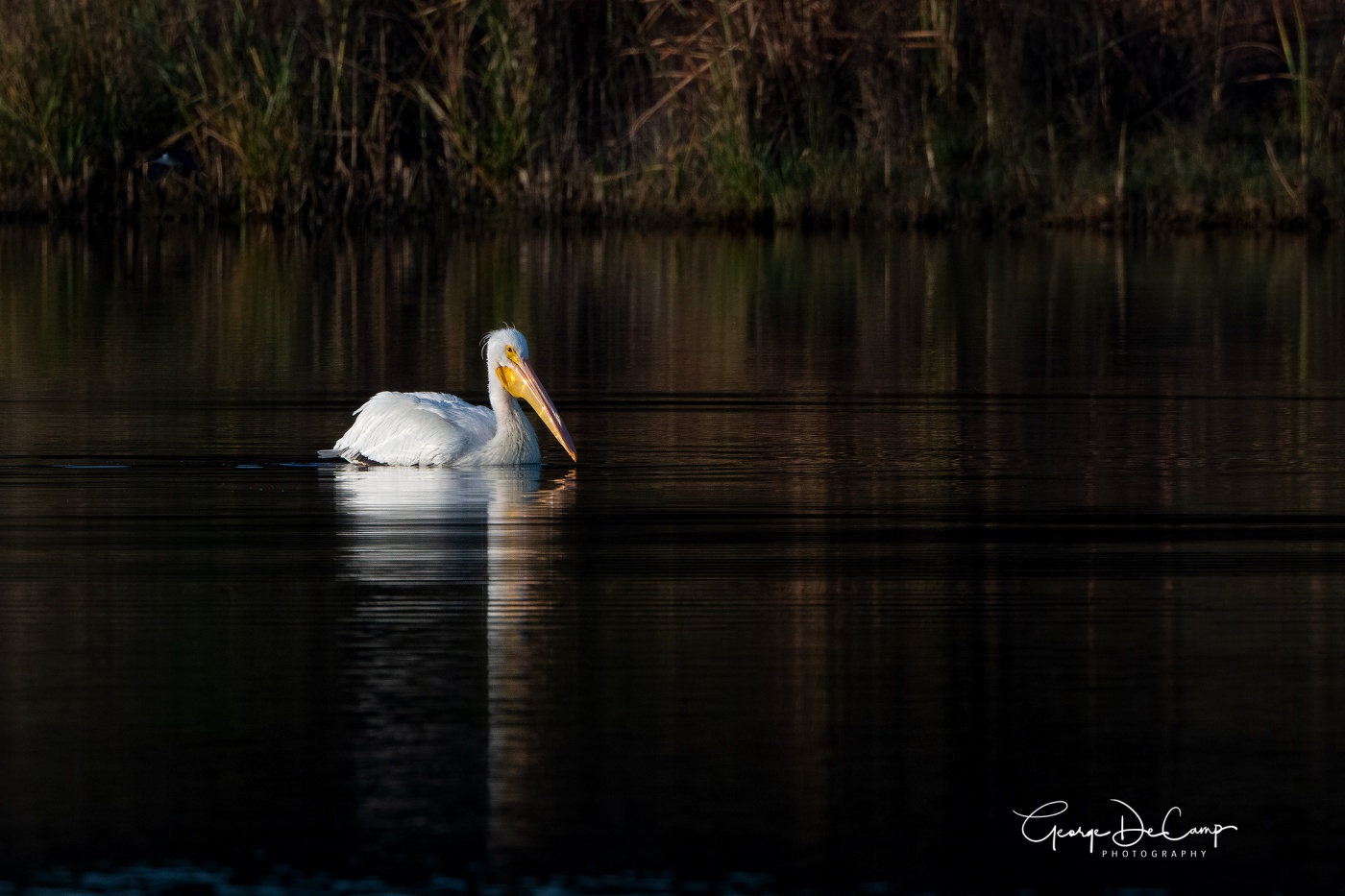 White Pelican - Huntington Beach State Park, SC