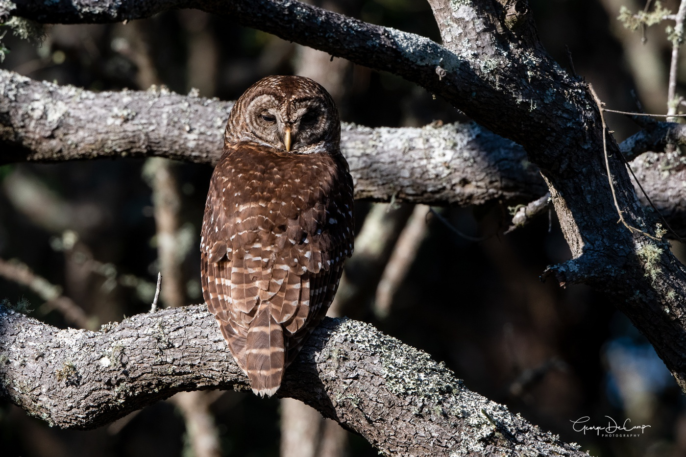 Barred Owl - Huntington Beach State Park, SC